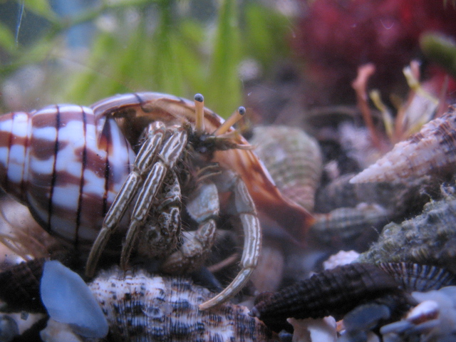Caught red-handed: The Candy striped hermit crab is
