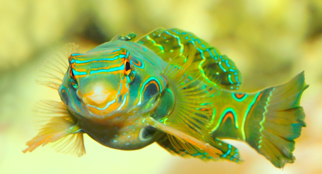 A thick and healthy Psychedelic Dragonet.