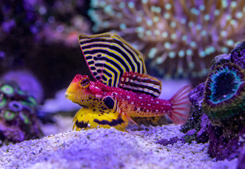 Flaming Scooter Blenny
